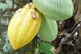 aktuelles_kakaofrucht2.jpg