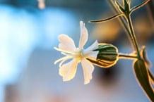 Abgebildet ist das Studienobjekt: die Blüte einer weiblichen Weißen Lichtnelke
