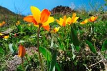 Zenaida-Tulpe (Tulipa zenaidae)