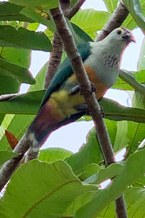 07_Endemic fruit dove_218