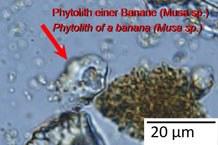 Microscopic image of a banana phytolith