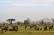 Wildebeest grazing in the central Serengeti, Oct 2019