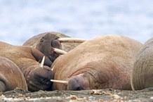 Atlantic walruses © Guy Huylebroeck