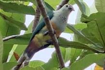 Endemic fruit dove